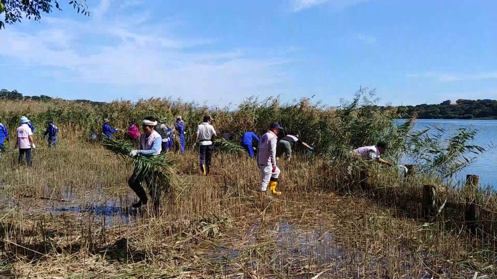 ヨシ刈り in 佐鳴湖