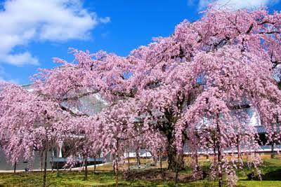 醍醐寺の枝垂桜(しだれざくら)を浜松へ植樹をします