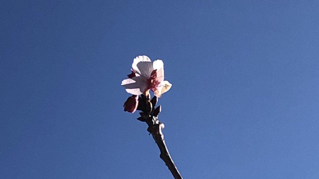 開花🌸宣言 !! 1/9(本日の桜🌸情報)