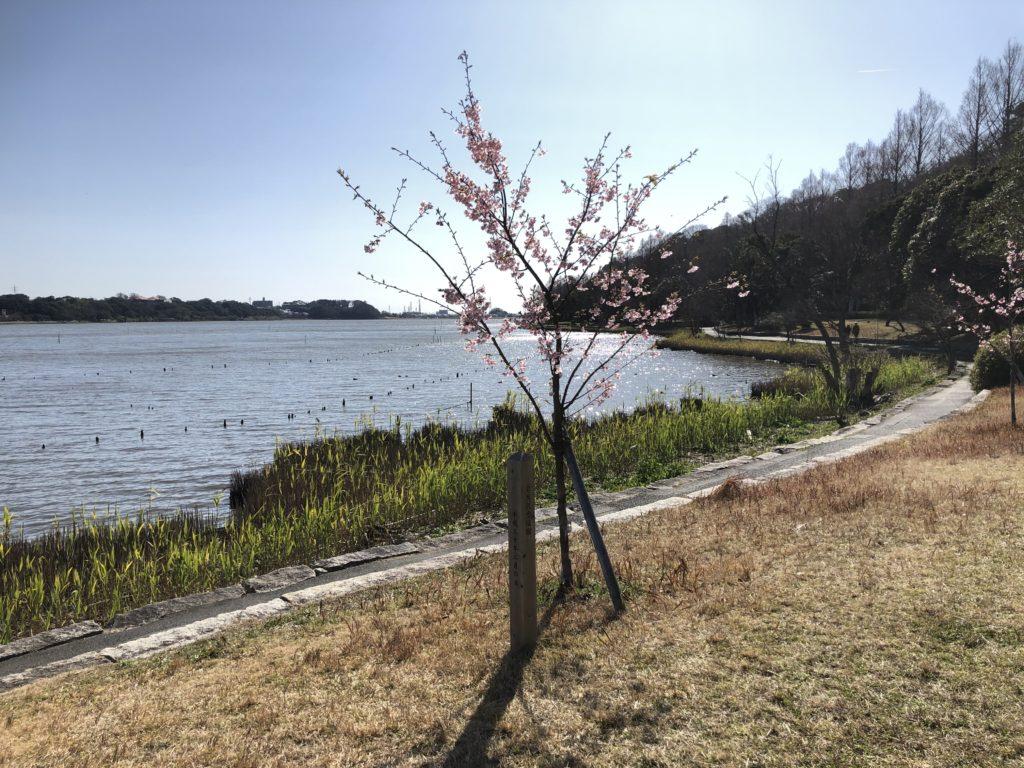 本日の桜🌸情報