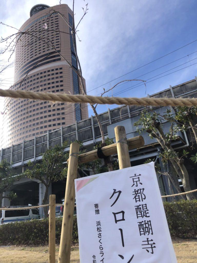科学館の太閤クローン桜🌸が早くも咲いた!